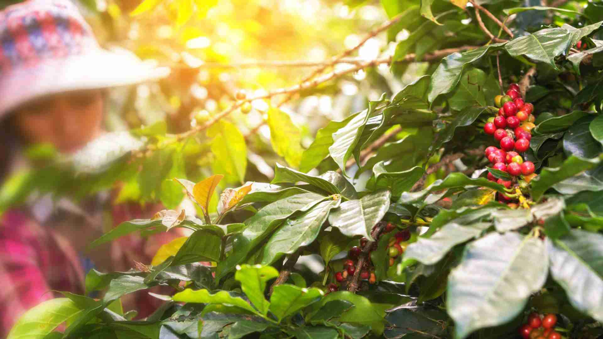 Trazabilidad y transparencia para los cafés de especialidad