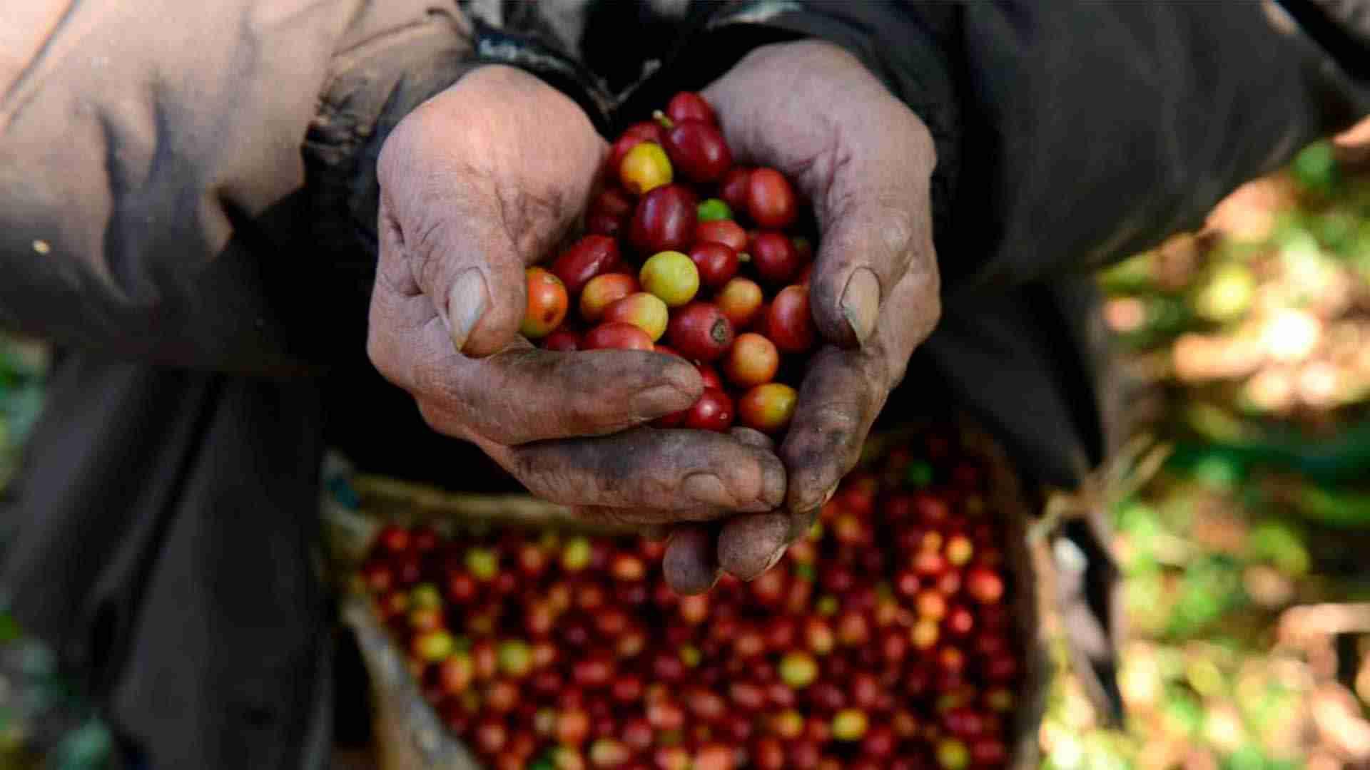 SADER provee acciones fitosanitarias a 11 entidades caficultoras.