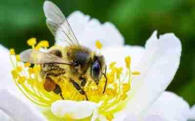 Las abejas al rescate del café