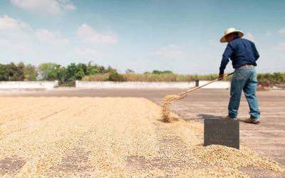 En Colombia estudian posibles afectaciones al café por secado al sol