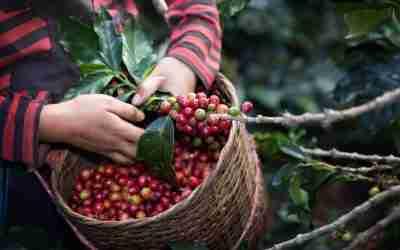 GIEZCA, dos décadas de investigación y capacitación a favor del café de Chiapas