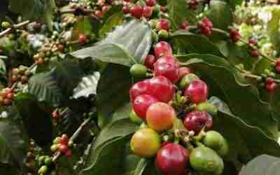 Coatepec firma acuerdo para desarrollar su clúster con café de Anoquia, Colombia.