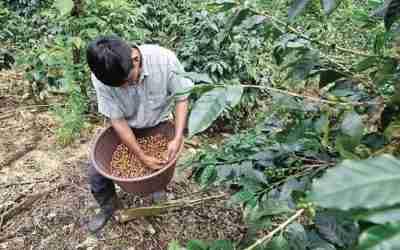 Cafeticultores de Guerrero sobreviven en crisis por la pandemia