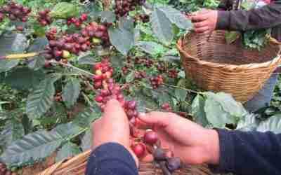 Productores de café piden ser incluidos en el programa «Sembrando Vida