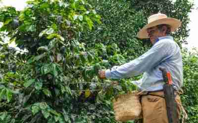El futuro del mercado de café en México está en la agricultura sostenible
